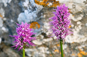 Two Naked man orchid (Orchis italica) flowers, Spili, Crete, Greece, April 2009  -  Wild Wonders of Europe / Lilja