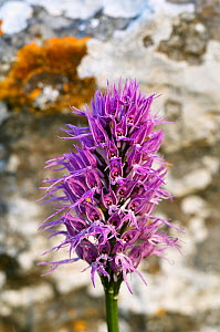 Naked man orchid (Orchis italica) flower, Spili, Crete, Greece, April 2009  -  Wild Wonders of Europe / Lilja