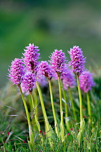 Naked man orchids (Orchis italica) in flower, Spili, Crete, Greece, April 2009  -  Wild Wonders of Europe / Lilja