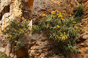 Jerusalem sage (Phlomis cretica) in flower growing on rocks, Imbros Gorge , Crete, Greece, April 2009  -  Wild Wonders of Europe / Lilja