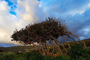 Carob (Ceratonia siliqua) trees shaped by the wind, Kolimvaro, Crete, Greece, April 2009  -  Wild Wonders of Europe / Lilja