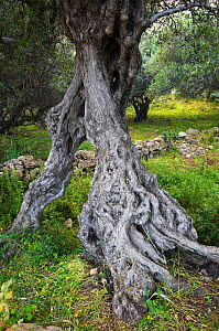 Gnarled trunk of an Olive tree (Olea europea) Kolimvaro, Crete, Greece, April 2009 - Wild Wonders of Europe / Lilja