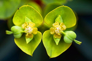 Tree spurge (Euphorbia dendroides) flowers, Topolia, Crete, Greece, April 2009  -  Wild Wonders of Europe / Lilja