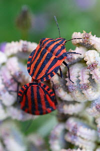 Two Italian stink bugs (Graphosoma italicum) on Mediterranean hartwort (Tordylium apulum) Falassarna, Crete, Greece, April 2009  -  Wild Wonders of Europe / Lilja
