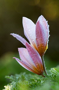 Two Tulip (Tulipa bakeri) flowers covered in raindrops, Omalos, Crete, Greece, April 2009  -  Wild Wonders of Europe / Lilja