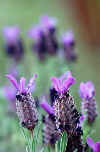 French lavender (Lavandula dentata) flowers, Crete, Greece, April 2009 - Wild Wonders of Europe / Lilja