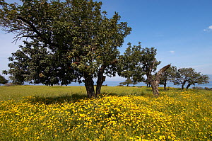 Carob trees / St John's bread (Ceratonia siliqua) in a meadow, Akamas Peninsula, Cyprus, May 2009  -  Wild Wonders of Europe / Lilja