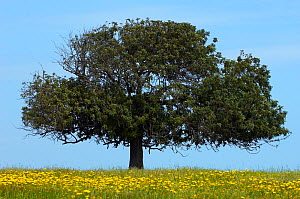 Carob tree / St. John's bread (Ceratonia siliqua) in meadow, Lachi, Cyprus, May 2009  -  Wild Wonders of Europe / Lilja