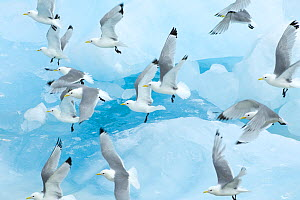 Black legged kittiwakes (Rissa tridactyla) in flight over ice, Kungsfjord, Svalbard, Norway, June 2008 Wild Wonders kids book. - Wild Wonders of Europe / de la Lez