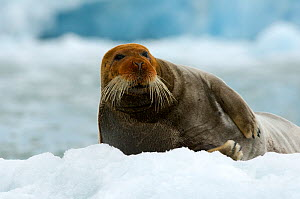 Bearded seal (Erignathus barbatus) portrait, Svalbard, Norway, June 2008 - Wild Wonders of Europe / de la Lez