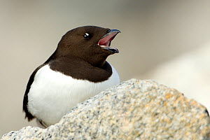 Little auk (Alle alle) calling, Fuglesangen, Svalbard, Norway, June 2008 - Wild Wonders of Europe / de la Lez