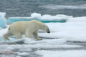 Polar bear (Ursus maritimus) walking over sea ice, Moselbukta, Svalbard, Norway, July 2008 - Wild Wonders of Europe / de la Lez