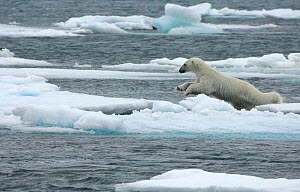 Polar bear (Ursus maritimus) leaping from sea ice, Moselbukta, Svalbard, Norway, July 2008 - Wild Wonders of Europe / de la Lez
