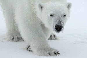 Polar bear (Ursus maritimus) portrait, Svalbard, Norway, July 2008 - Wild Wonders of Europe / de la Lez