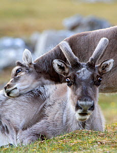 Young Svalbard reindeer (Rangifer tarandus platyrhynchus) rubbing its head on adults back, Svalbard, Norway, July 2008 - Wild Wonders of Europe / de la Lez