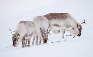 Three Svalbard reindeer (Rangifer tarandus platyrhynchus) grazing, Spitsbergen, Svalbard, March 2009 - Wild Wonders of Europe / Liodden
