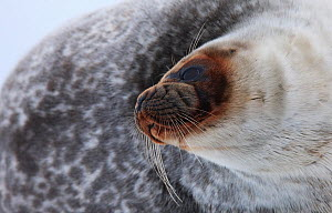 Ringed seal (Pusa hispida) portrait, Spitsbergen, Svalbard, March 2009 - Wild Wonders of Europe / Liodden