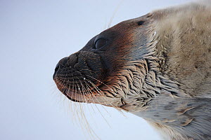 Ringed seal (Pusa hispida) head portrait, Spitsbergen, Svalbard, March 2009 - Wild Wonders of Europe / Liodden