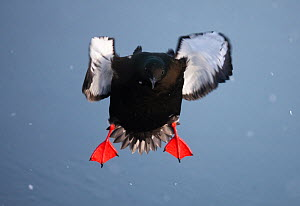 Black guillemot (Cepphus grylle) in flight over water, Spitsbergen, Svalbard, March 2009  -  Wild Wonders of Europe / Liodden
