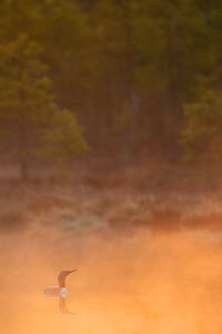 Red throated diver (Gavia stellata) on lake in mist at dawn, Bergslagen, Sweden, April 2009  -  Wild Wonders of Europe / Cairns