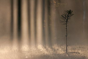RF- Light shining through treesn in a woodland bog at dawn, Bergslagen, Sweden, June. (This image may be licensed either as rights managed or royalty free.)  -  Wild  Wonders of Europe / Cairns