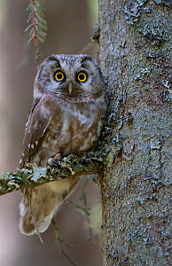 RF- Tengmalms owl (Aegolius funereus) perched in tree, Bergslagen, Sweden, June 2009. (This image may be licensed either as rights managed or royalty free.)  -  Wild  Wonders of Europe / Cairns