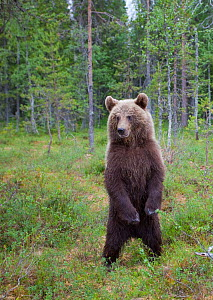 RF- European brown bear (Ursus arctos) standing on rear legs, Kuhmo, Finland, July 2009. (This image may be licensed either as rights managed or royalty free.)  -  Wild  Wonders of Europe / Cairns