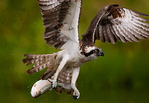 Osprey (Pandion haliaetus) in flight carrying fish, Kangasala, Finland, August 2009 - Wild Wonders of Europe / Cairns