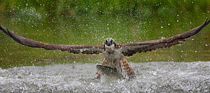 Osprey (Pandion haliaetus) fishing, Kangasala, Finland, August 2009 - Wild Wonders of Europe / Cairns