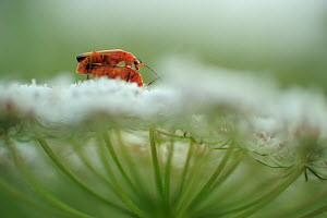 Common red soldier beetle (Rhagonycha fulva) pair mating on Wild carrot (Daucus carota carota) flower, H�vblege, M�n, Denmark, July 2009 - Wild Wonders of Europe / Bartocha