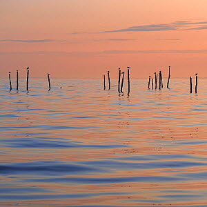 Lesser black backed gulls (Larus fuscus) and Herring gulls (Larus argentatus) perched on posts in the Baltic Sea silhouetted at sunset, M�n, Denmark, July 2009 - Wild Wonders of Europe / Bartocha