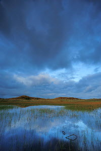 Lobelia lake at dawn, Vangs� Dune Heath, Thy National Park, Denmark, July 2009  -  Wild Wonders of Europe / Bartocha