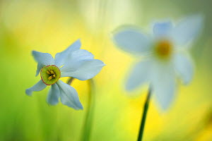 Poet's daffodil (Narcissus poeticus) flowers, Piano Grande, Monti Sibillini National Park, Umbria, Italy, May 2009  -  Wild Wonders of Europe / Bartocha