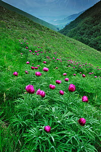 Common peony (Paeonia officinalis) flowers, Valle di Canatra, Monti Sibillini National Park, Umbria, Italy, May 2009  -  Wild Wonders of Europe/ Bartocha