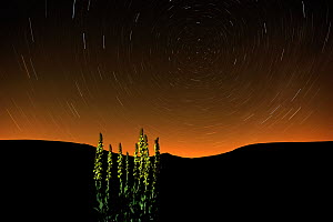 Great mullein (Verbascum thapsus) at night with startrails, Monti Sibillini National Park, Umbria, Italy, May 2009. WWE INDOOR EXHIBITION  -  Wild Wonders of Europe/ Bartocha