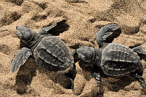 Two newly hatched Loggerhead turtles (Caretta caretta) heading for the sea, Dalyan Delta, Turkey, July 2009 - Wild Wonders of Europe / Zankl