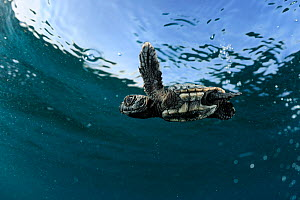 Newly hatched Loggerhead turtle (Caretta caretta) swimming in sea, Dalyan Delta, Turkey, July 2009 - Wild Wonders of Europe / Zankl