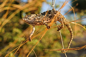 Mediterranean / Common chameleon (Chamaeleo chamaeleon) climbing between plant stems, Tukey, August 2009 - Wild Wonders of Europe / Zankl