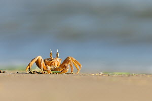 Ghost / Sand crab (Ocypode cursor) on beach, Dalyan Delta, Turkey, August 2009 - Wild Wonders of Europe / Zankl