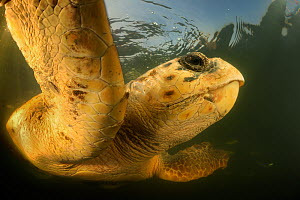 Loggerhead turtle (Caretta caretta) swimming, Dalyan Delta, Turkey, August 2009 - Wild Wonders of Europe / Zankl
