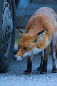 Urban Red fox (Vulpes vulpes) sniffing car tyre, London, UK, May  -  Wild  Wonders of Europe / Geslin