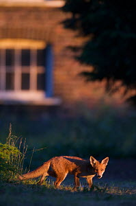 Urban Red fox (Vulpes vulpes) in front of house, London, May  -  Wild  Wonders of Europe / Geslin