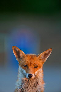Urban Red fox (Vulpes vulpes) portrait, London, May  -  Wild  Wonders of Europe / Geslin