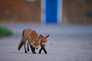 Urban Red fox (Vulpes vulpes) adult and young, London, May  -  Wild  Wonders of Europe / Geslin