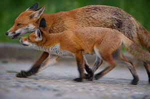 Urban Red fox (Vulpes vulpes) juvenile and adult, London, May  -  Wild  Wonders of Europe / Geslin