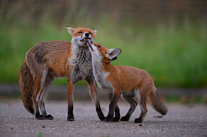 Urban Red fox (Vulpes vulpes) cub interacting with mother, London, May  -  Wild  Wonders of Europe / Geslin