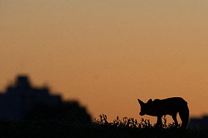 Urban Red fox (Vulpes vulpes) silhouetted at dusk, London, May  -  Wild  Wonders of Europe / Geslin