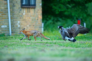Canada goose (Branta canadensis) chasing off urban Red fox (Vulpes vulpes) London, May  -  Wild  Wonders of Europe / Geslin