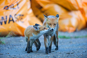 Urban Red fox (Vulpes vulpes) cub sniffing adults nose, London, June  -  Wild  Wonders of Europe / Geslin