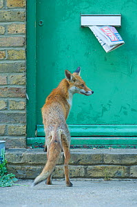 Urban Red fox (Vulpes vulpes) on doorstep with newspaper hanging out of letter box, London, June  -  Wild  Wonders of Europe / Geslin